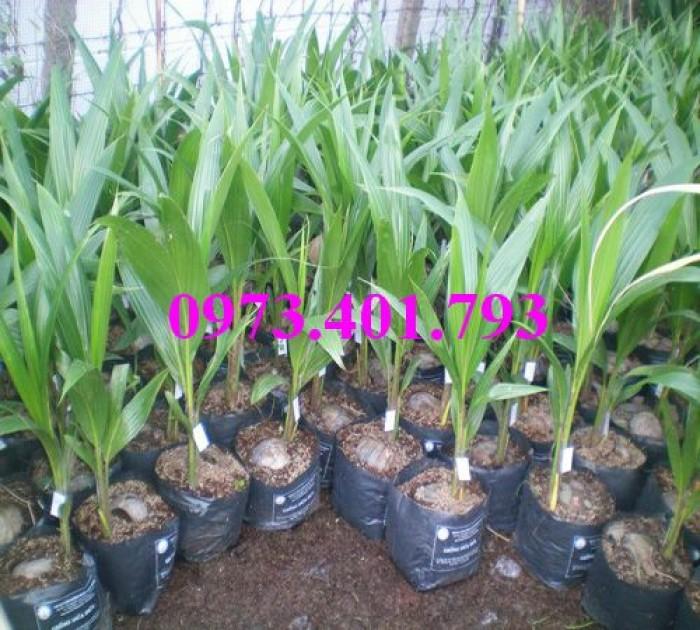Giống cây dừa xiêm lùn xanh, dừa xiêm lùn, dừa xiêm, cây dừa xiêm lùn9