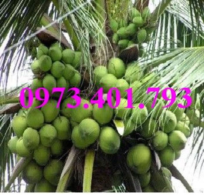 Giống cây dừa xiêm lùn xanh, dừa xiêm lùn, dừa xiêm, cây dừa xiêm lùn10