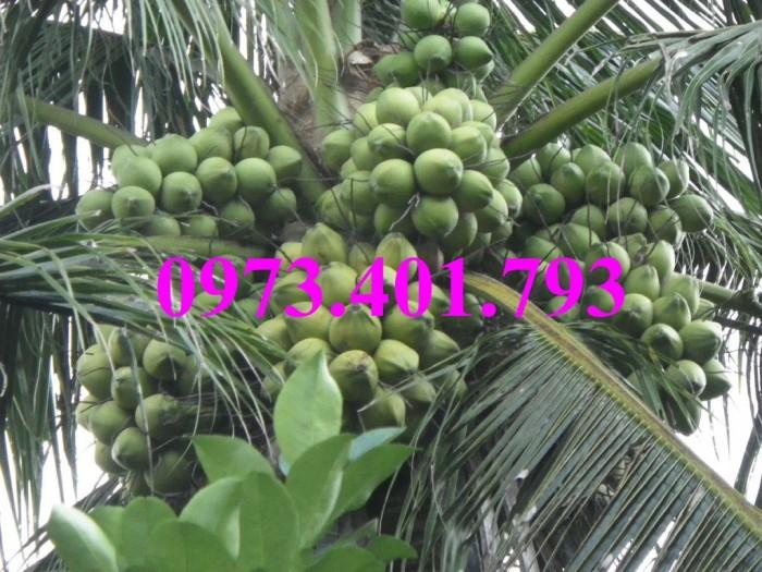 Giống cây dừa xiêm lùn xanh, dừa xiêm lùn, dừa xiêm, cây dừa xiêm lùn11