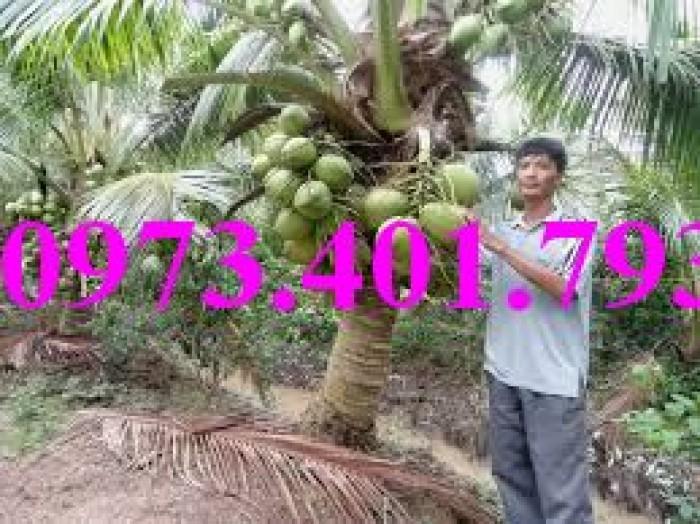 Giống cây dừa xiêm lùn xanh, dừa xiêm lùn, dừa xiêm, cây dừa xiêm lùn12