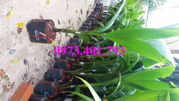 Giống cây dừa xiêm lùn xanh, dừa xiêm lùn, dừa xiêm, cây dừa xiêm lùn13