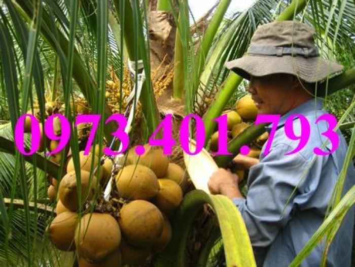 Giống cây dừa xiêm lùn xanh, dừa xiêm lùn, dừa xiêm, cây dừa xiêm lùn14