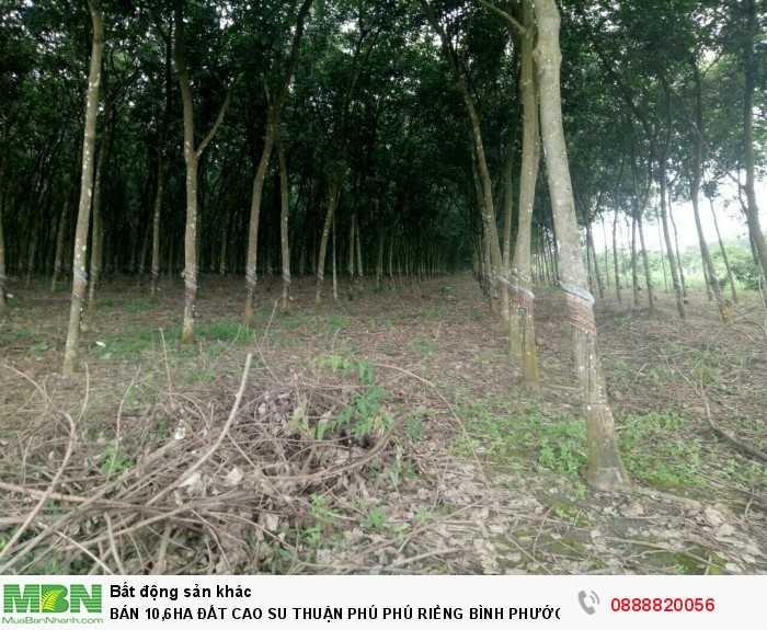 Bán 10,6ha Đất Cao Su Thuận Phú Phú Riềng Bình Phước