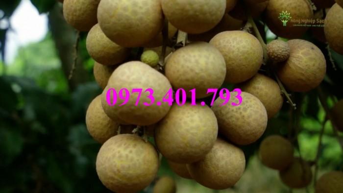 Giống cây nhãn chiết sớm quả to Indo, nhãn indo, cây nhãn ido, cây nhãn, nhãn. kĩ thuật trồng nhãn3