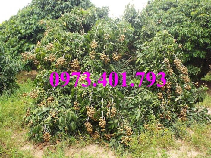 Giống cây nhãn chiết sớm quả to Indo, nhãn indo, cây nhãn ido, cây nhãn, nhãn. kĩ thuật trồng nhãn4