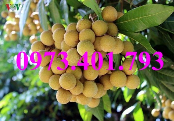 Giống cây nhãn chiết sớm quả to Indo, nhãn indo, cây nhãn ido, cây nhãn, nhãn. kĩ thuật trồng nhãn5