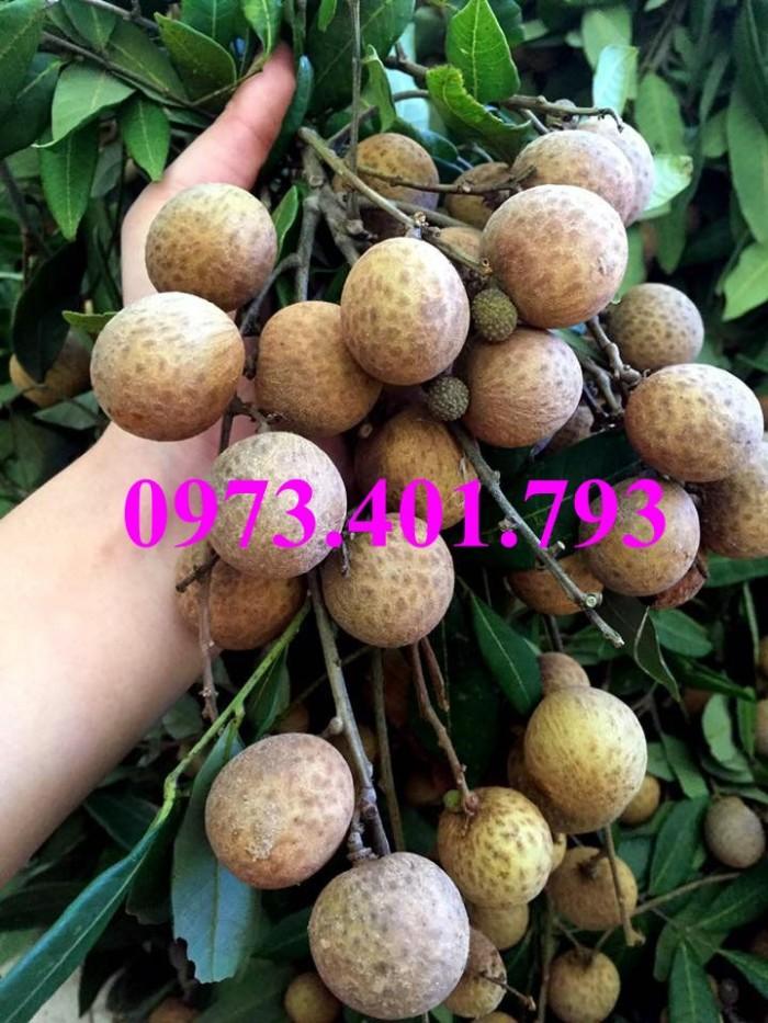 Giống cây nhãn chiết sớm quả to Indo, nhãn indo, cây nhãn ido, cây nhãn, nhãn. kĩ thuật trồng nhãn7
