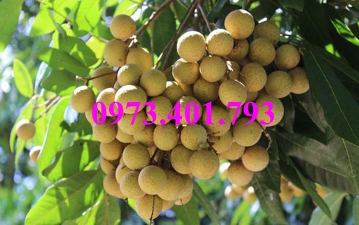 Giống cây nhãn chiết sớm quả to Indo, nhãn indo, cây nhãn ido, cây nhãn, nhãn. kĩ thuật trồng nhãn6