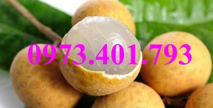Giống cây nhãn chiết sớm quả to Indo, nhãn indo, cây nhãn ido, cây nhãn, nhãn. kĩ thuật trồng nhãn8