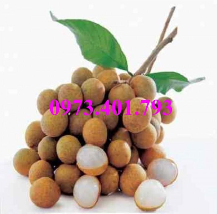 Giống cây nhãn chiết sớm quả to Indo, nhãn indo, cây nhãn ido, cây nhãn, nhãn. kĩ thuật trồng nhãn9