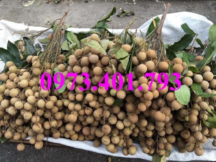 Giống cây nhãn chiết sớm quả to Indo, nhãn indo, cây nhãn ido, cây nhãn, nhãn. kĩ thuật trồng nhãn10