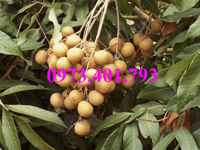 Giống cây nhãn chiết sớm quả to Indo, nhãn indo, cây nhãn ido, cây nhãn, nhãn. kĩ thuật trồng nhãn12
