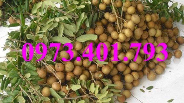 Giống cây nhãn chiết sớm quả to Indo, nhãn indo, cây nhãn ido, cây nhãn, nhãn. kĩ thuật trồng nhãn13