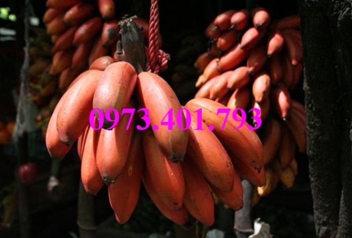 Cây giống chuối đỏ, chuối đỏ, cây chuối đỏ, cây chuối, thông tin cây chuối đỏ6