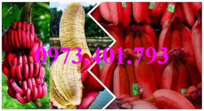 Cây giống chuối đỏ, chuối đỏ, cây chuối đỏ, cây chuối, thông tin cây chuối đỏ7