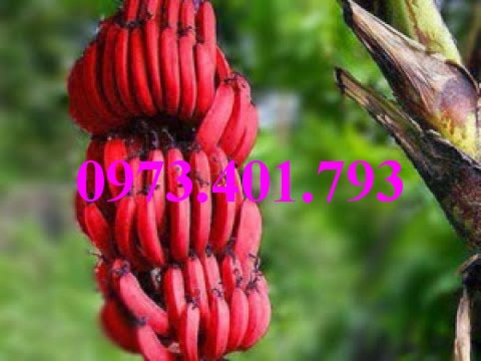 Cây giống chuối đỏ, chuối đỏ, cây chuối đỏ, cây chuối, thông tin cây chuối đỏ8