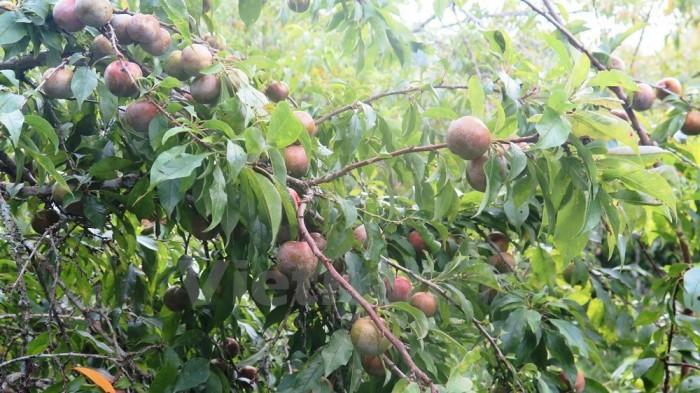 Cung cấp cây giống mận hậu, mận tam hoa, trung tâm cung cấp cây giống phát triển tốt cho năng suất0