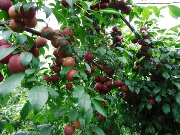 Cung cấp cây giống mận hậu, mận tam hoa, trung tâm cung cấp cây giống phát triển tốt cho năng suất3
