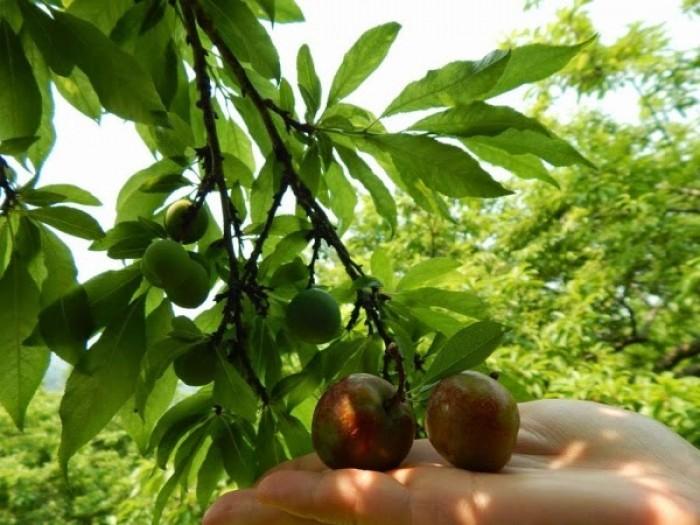 Cung cấp cây giống mận hậu, mận tam hoa, trung tâm cung cấp cây giống phát triển tốt cho năng suất4