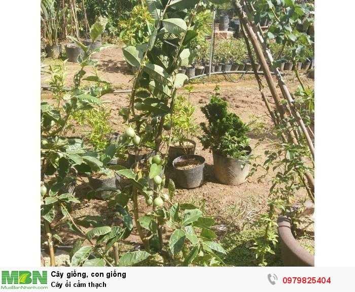 Cung cấp cây giống ổi cẩm thạch1