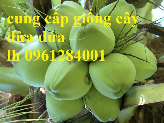 Bán giống cây dừa dứa, dừa thơm, dừa dứa thái lan, cây dừa, cây giống chất lượng cao6