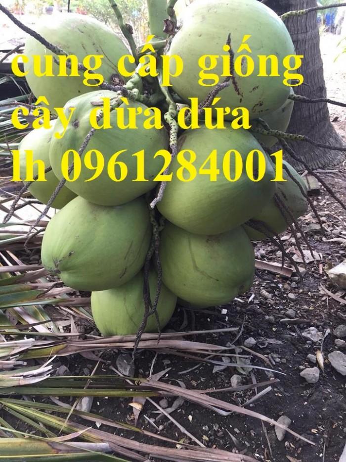Bán giống cây dừa dứa, dừa thơm, dừa dứa thái lan, cây dừa, cây giống chất lượng cao1