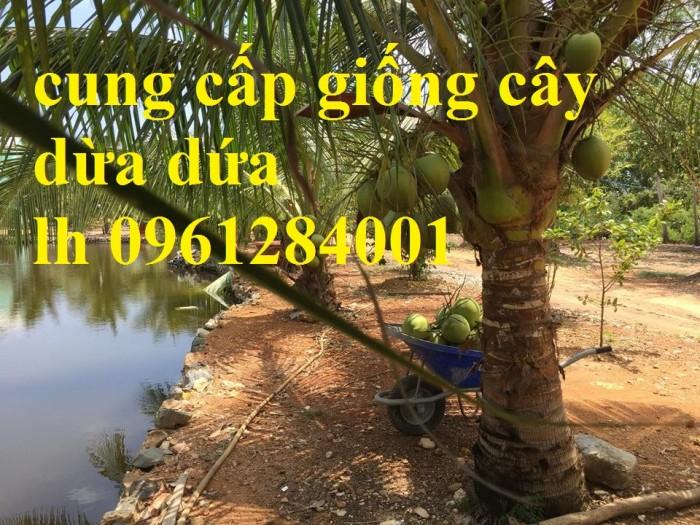 Bán giống cây dừa dứa, dừa thơm, dừa dứa thái lan, cây dừa, cây giống chất lượng cao3