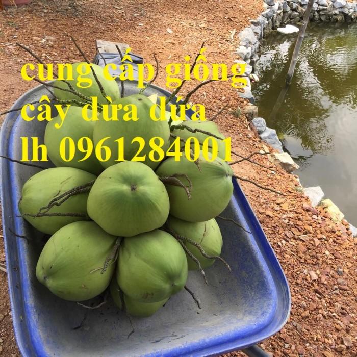 Bán giống cây dừa dứa, dừa thơm, dừa dứa thái lan, cây dừa, cây giống chất lượng cao2