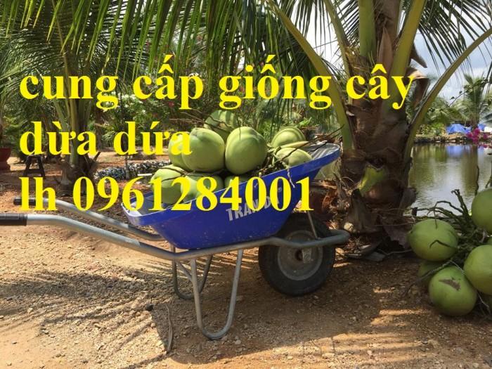 Bán giống cây dừa dứa, dừa thơm, dừa dứa thái lan, cây dừa, cây giống chất lượng cao5