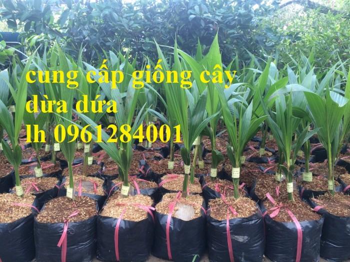 Bán giống cây dừa dứa, dừa thơm, dừa dứa thái lan, cây dừa, cây giống chất lượng cao4