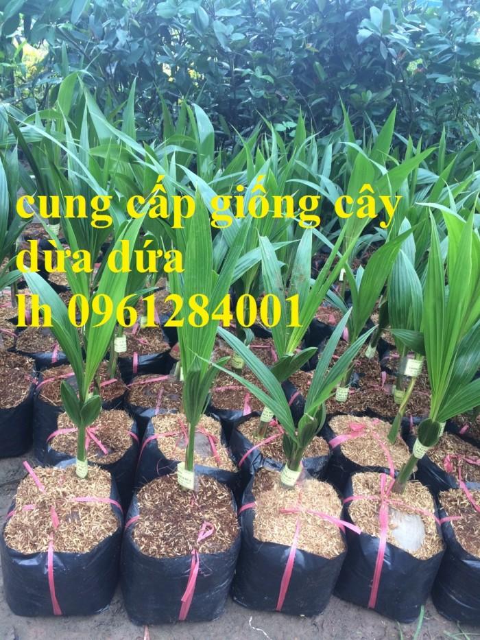 Bán giống cây dừa dứa, dừa thơm, dừa dứa thái lan, cây dừa, cây giống chất lượng cao0