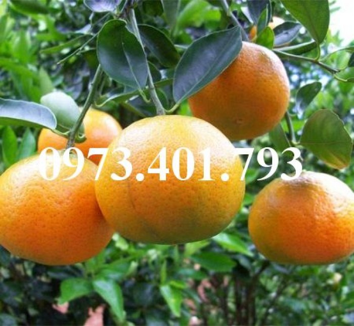 Giống cây quýt đường thái, quýt đường thái, cây quýt đường thái, cây quýt, quýt đường, kĩ thuật trồng cây quýt đường thái5