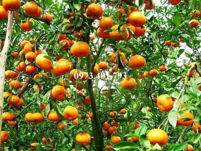 Giống cây quýt đường, quýt đường, cây quýt đường, kĩ thuật trồng cây quýt8