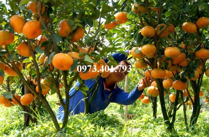 Giống cây quýt đường, quýt đường, cây quýt đường, kĩ thuật trồng cây quýt11