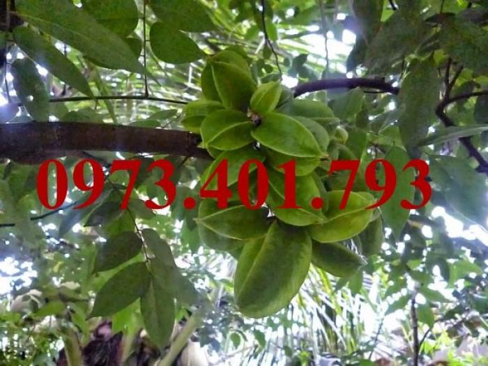 Giống cây khế ngọt, khế ngọt, cây khế ngọt, kĩ thuật trồng cây khế ngọt8