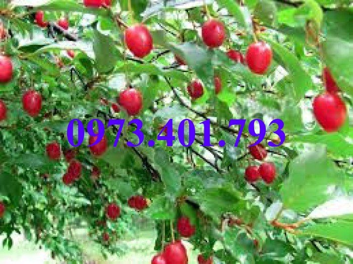 Giống cây nhót ngọt, nhót ngọt, cây nhót ngọt, cây nhót, kĩ thuật trồng cây nhót ngọt5