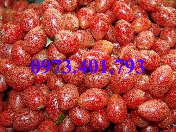 Giống cây nhót ngọt, nhót ngọt, cây nhót ngọt, cây nhót, kĩ thuật trồng cây nhót ngọt9