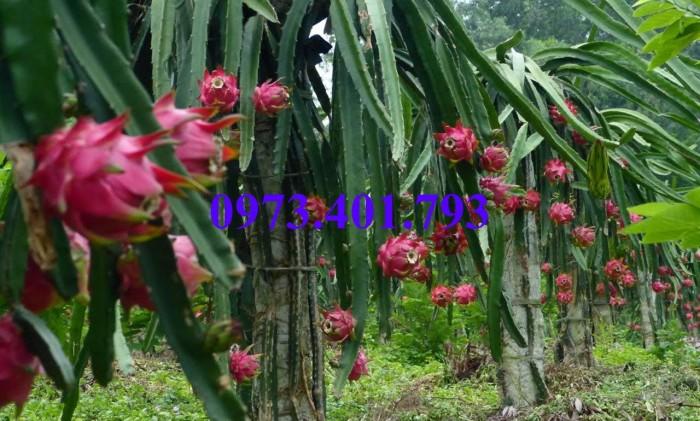 Giống cây thăng long ruột đỏ, thăng long ruột đỏ, cây thăng long ruột đỏ, cây thăng long, kĩ thuật trồng cây6