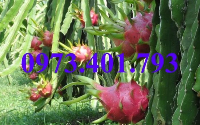 Giống cây thăng long ruột đỏ, thăng long ruột đỏ, cây thăng long ruột đỏ, cây thăng long, kĩ thuật trồng cây9