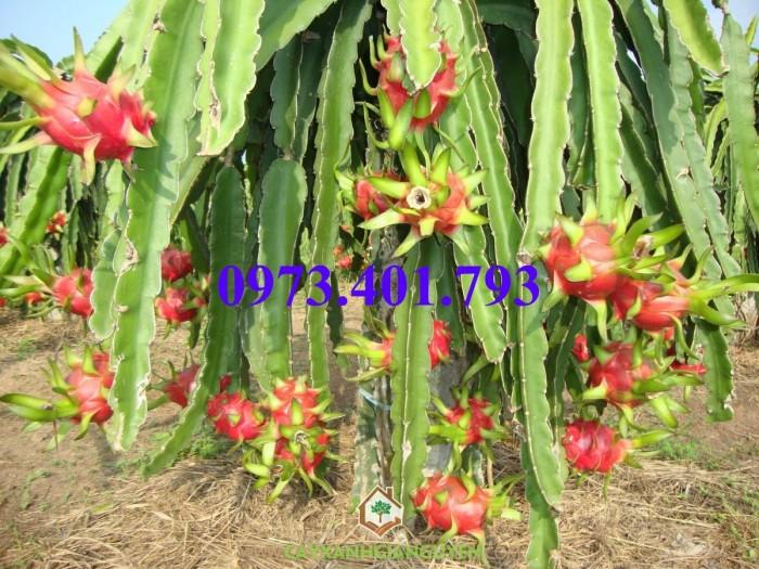 Giống cây thăng long ruột đỏ, thăng long ruột đỏ, cây thăng long ruột đỏ, cây thăng long, kĩ thuật trồng cây15