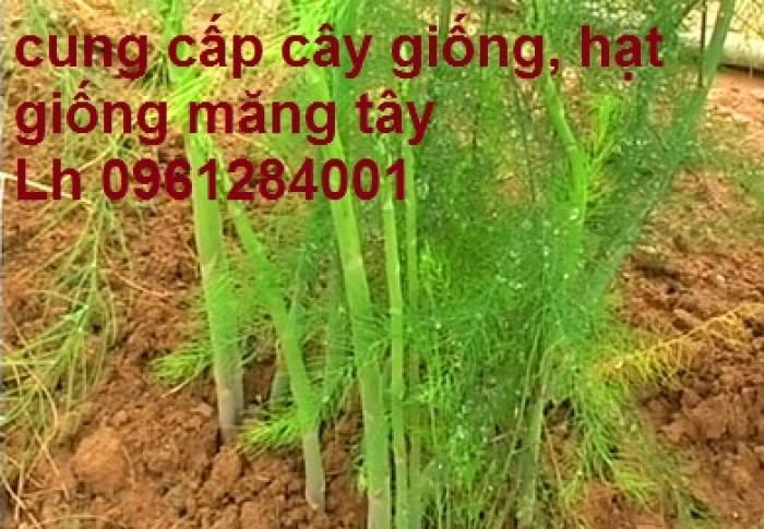 Cung cấp cây giống, hạt giống măng tây xanh, viencaygiongtrunguong13
