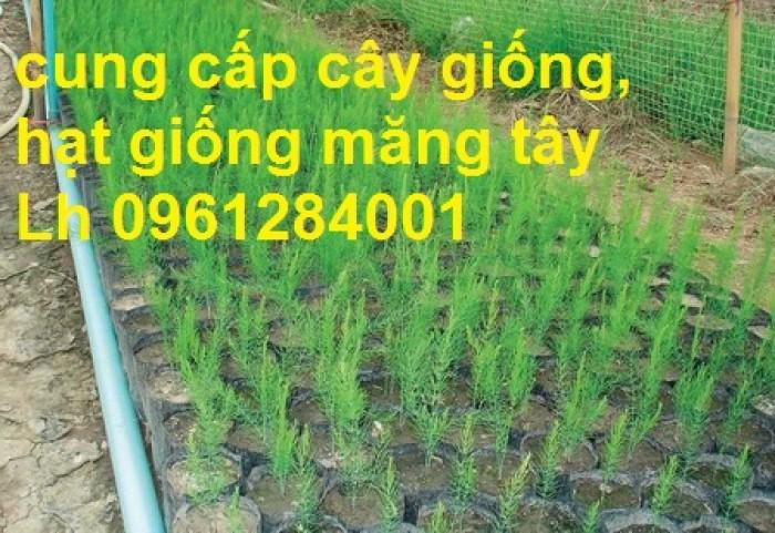 Cung cấp cây giống, hạt giống măng tây xanh, viencaygiongtrunguong10