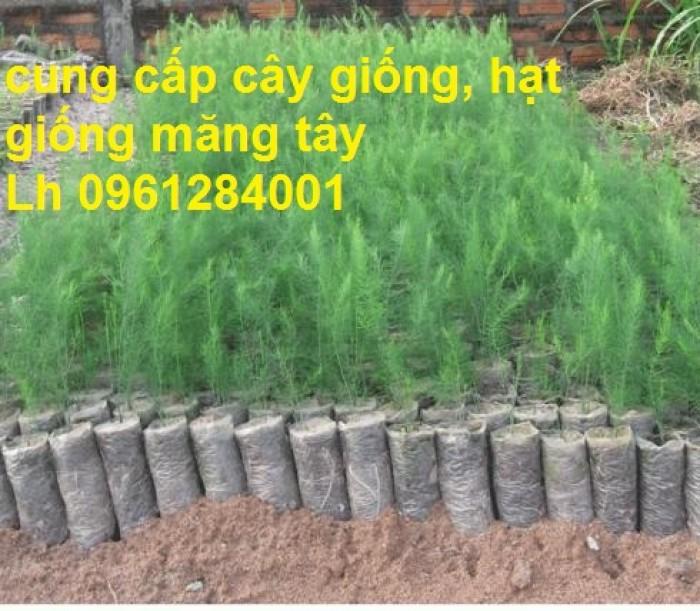 Cung cấp cây giống, hạt giống măng tây xanh, viencaygiongtrunguong3