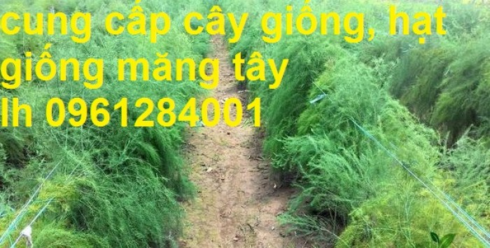 Cung cấp cây giống, hạt giống măng tây xanh, viencaygiongtrunguong16