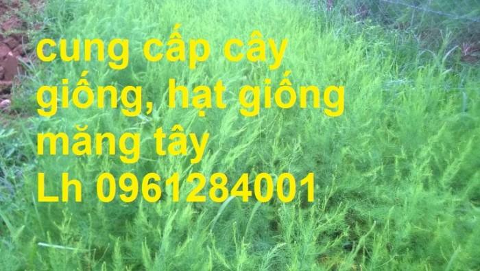 Cung cấp cây giống, hạt giống măng tây xanh, viencaygiongtrunguong15