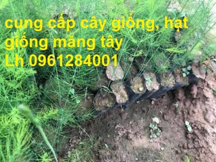 Cung cấp cây giống, hạt giống măng tây xanh, viencaygiongtrunguong9