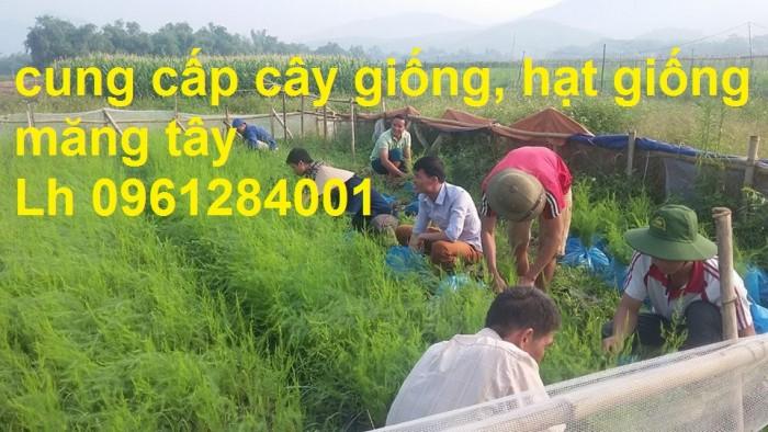 Cung cấp cây giống, hạt giống măng tây xanh, viencaygiongtrunguong12