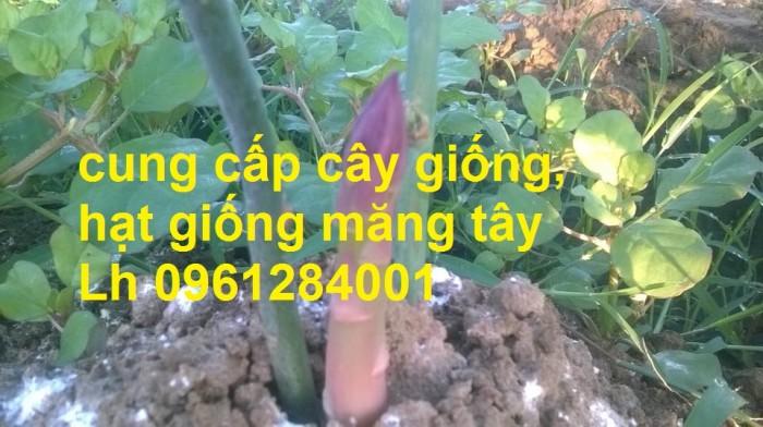 Cung cấp cây giống, hạt giống măng tây xanh, viencaygiongtrunguong14