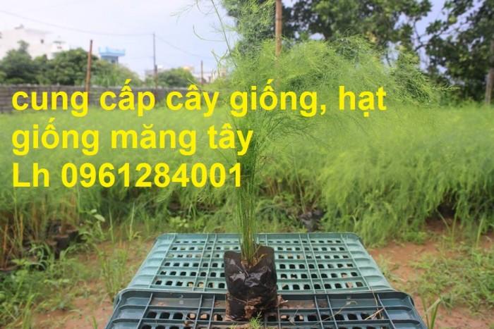 Cung cấp cây giống, hạt giống măng tây xanh, viencaygiongtrunguong7