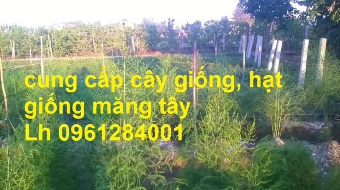 Cung cấp cây giống, hạt giống măng tây xanh, viencaygiongtrunguong5